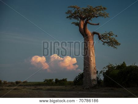 Baobab tree on the dry meadow and fluffy cloud on the background