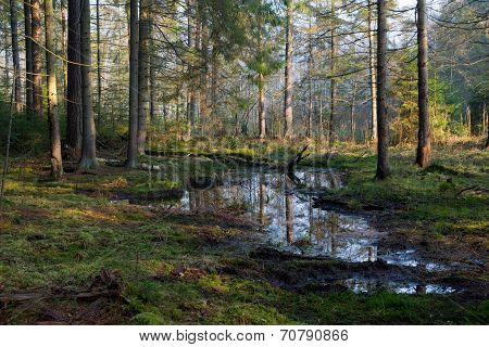 Coniferous Stand Of Bialowieza Forest