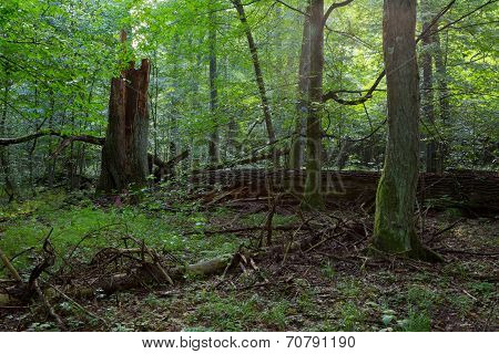 Group Of Old Trees In Natural Forest