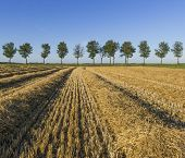 picture of threshing  - Corn field in the province of Groningen with in the background a row of trees. ** Note: Shallow depth of field - JPG