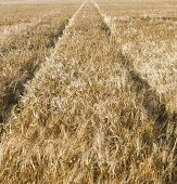 stock photo of threshing  - Corn field in Holland with tracks of wheels. ** Note: Shallow depth of field - JPG