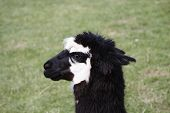 picture of alpaca  - Head of a black and white Alpaca with grass in background - JPG