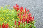 stock photo of celosia  - Beautiful red celosia flower in flower bed - JPG