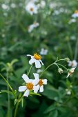 picture of dialect  - Green grass and chamomiles in the nature bright white flowers that bloom - JPG