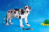 foto of harlequin  - Harlequin great dane puppy with colored glass and flower on the blue background with clouds texture - JPG