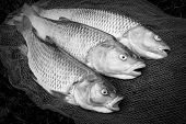 image of chub  - Catch of fishes - JPG
