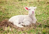 stock photo of suffolk sheep  - a white suffolk lamb lying in the grass - JPG