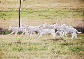 picture of suffolk sheep  - eight suffolk lambs running through a fiel - JPG