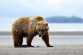 pic of omnivore  - Grizzly Bear foraging on beach, searching for clams ** Note: Visible grain at 100%, best at smaller sizes - JPG