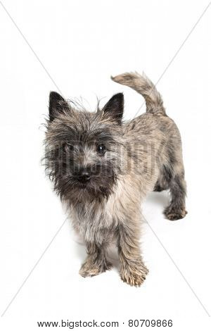Cairn terrier puppy about 6 months old on a white background.