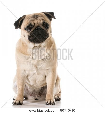 pug looking at viewer sitting isolated on white background