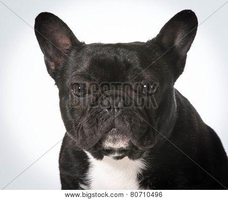 french bulldog portrait - male one year old