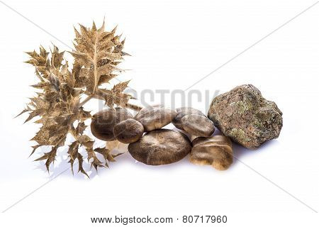 Oyster Mushrooms Isolated On A White Background