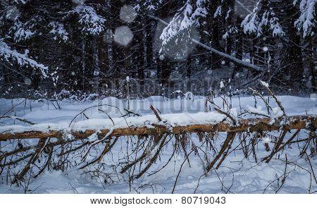 Fallen pine
