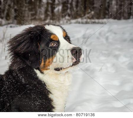 Mountain dog portrait