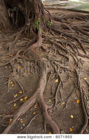 Root Tree