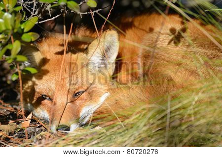 Red fox resting among the bushes
