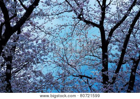 Tranquil cherry blossom of an old cherry tree, with calm blue background.