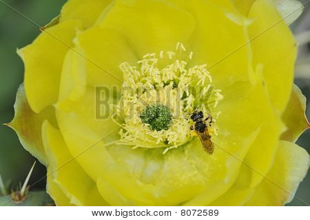Insect On A Cactus Flower