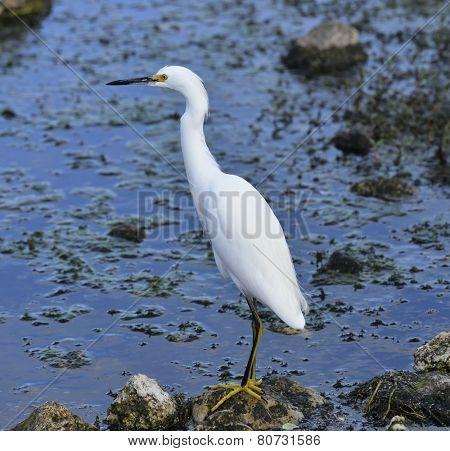 Snowy Egret In Florida Wetlands