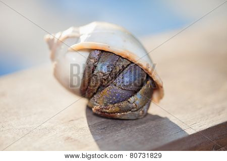 Closeup of a hermit crab in shell