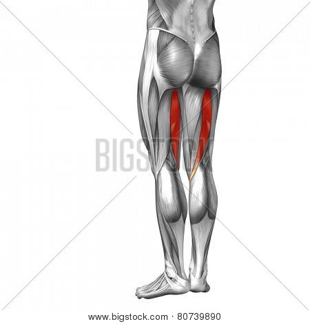 Concept or conceptual 3D semitendinosus human upper leg anatomy or anatomical and muscle isolated on white background