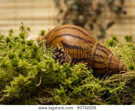 Albino snail