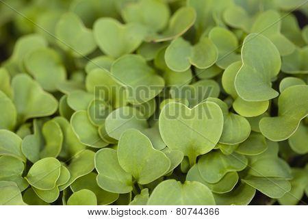 Garden Radish Sprouts