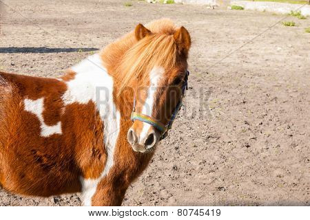 Brown Pony