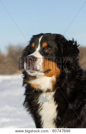 Portraite of Bernese dog