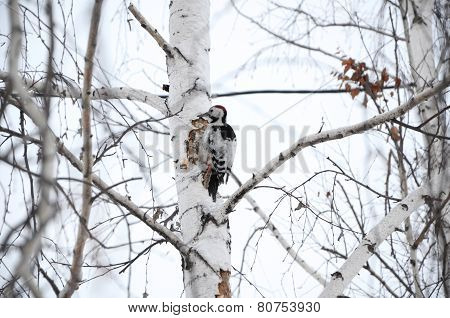 Woodpecker On The Wood