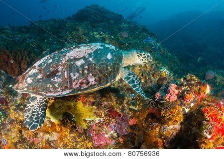 Hawksbill Turtle Feeding