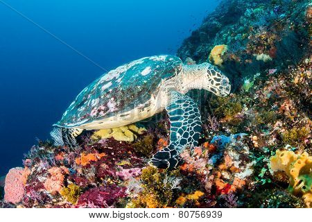 Hawksbill Turtle At Batu Balong, Komodo.