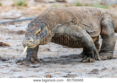 Komodo Dragon on Rinca
