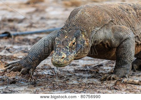 Komodo Dragon walking in the mud