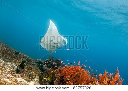 Manta Feeding On A Shallow Reef.  Komodo National Park