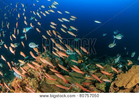 Shoals of fish on a deep water reef