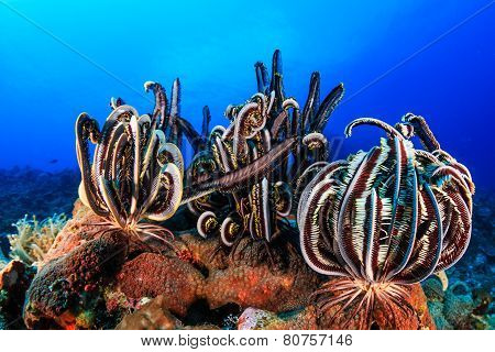 Crinoids on a coral reef