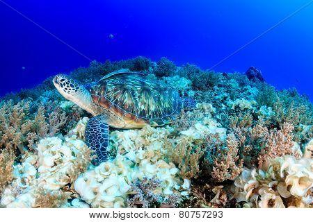 Green Turtle.  Han's Reef.  Gili Air