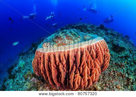 Turtle Sleeping In A Barrel Sponge As Divers Pass Behind Without Noticing.