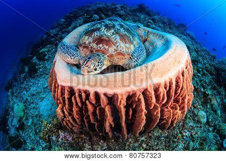 Turtle sleeping in a sponge