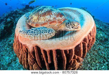 Turtle In A Sponge