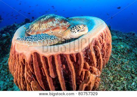 Turtle resting in a sponge