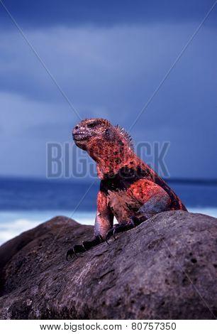 Galapagos Islands Marine Iguana