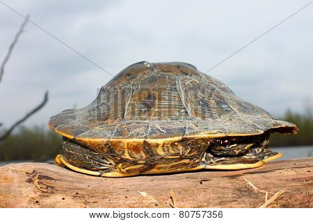 Map Turtle Illinois Wetland