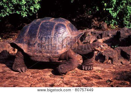 Galapagos Tortoise Santa Cruz Island