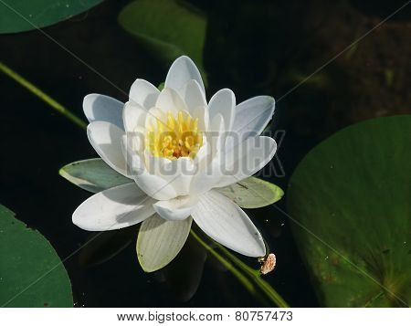American White Water Lily Wisconsin
