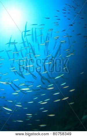 Fish shoal in ocean