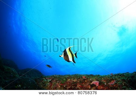 Moorish Idol fish in sea