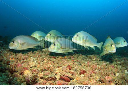 School Silver Sweetlips fish
